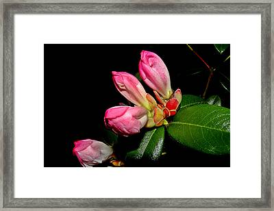 Rhododendron Buds Framed Print by Brian Chase