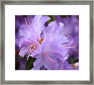 Rhododendron Flower Framed Print