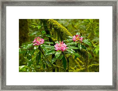 Rhododendron Flowers In A Forest Framed Print by Panoramic Images