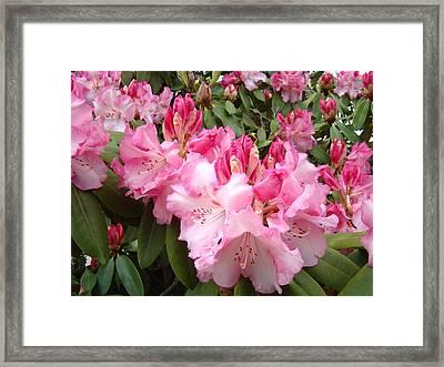 Rhododendron Garden Art Prints Pink Rhodie Flowers Framed Print