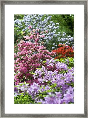 Rhododendron Garden Framed Print by Frank Tschakert