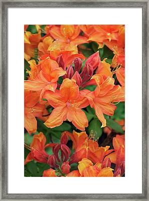 Rhododendron 'golden Eagle' Framed Print