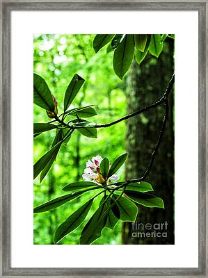 Rhododendron In Bloom Framed Print by Thomas R Fletcher
