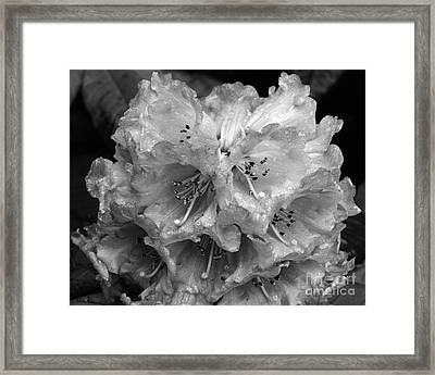 Rhododendron In The Rain Framed Print by Paul Cowan