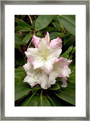 Rhododendron 'loders White' Flowers Framed Print by Adrian Thomas
