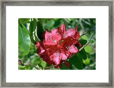 Rhododendron 'michael Waterer' Flowers Framed Print by Adrian Thomas