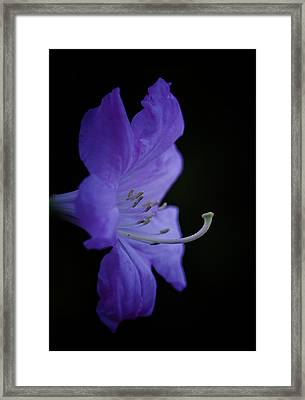 Rhododendron Framed Print by Ron Roberts