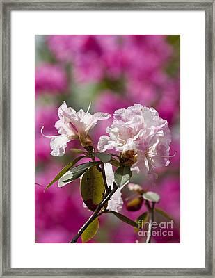 Rhododendron Framed Print by Steven Ralser