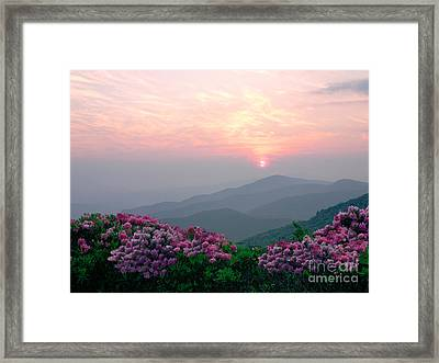 Rhododendron Sunrise Framed Print by Annlynn Ward