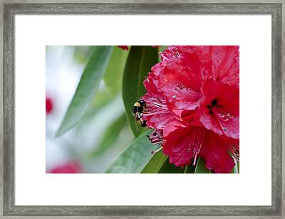 Rhododendron With Bumblebee Framed Print