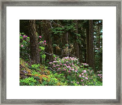 Rhododendrons And Trees, Washington Framed Print by Randy Green
