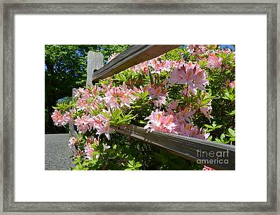 Rhododendrons In Tumwater Falls Park Framed Print