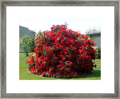 Rhododendrun  Framed Print by George Cousins