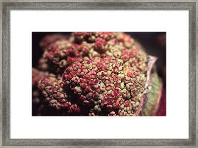 Rhubarb Flowers Framed Print by Retro Images Archive