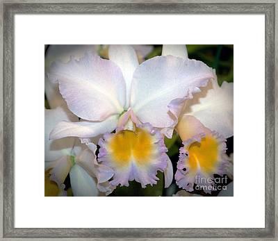 Rhyncholaeliocattleya William Farrell 'amigo' Orchid Flower  Framed Print by David Oppenheimer