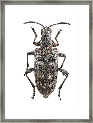 Ribbed Pine Borer Beetle Framed Print by F. Martinez Clavel
