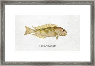 Ribbed Tilefish Framed Print