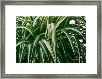 Ribbon Grass Framed Print