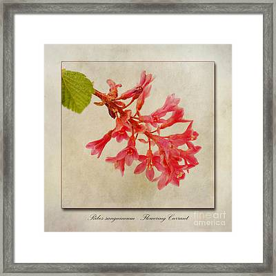 Ribes Sanguineum  Flowering Currant Framed Print by John Edwards