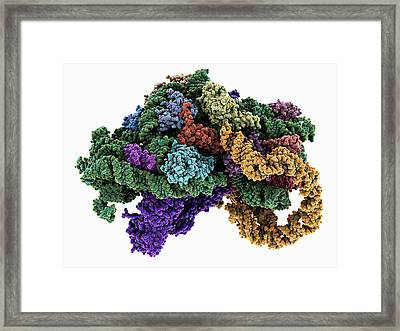 Ribosome Bound To Mrna Framed Print by Laguna Design