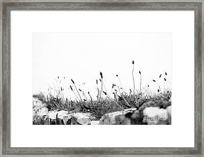 Ribwort Plantain Framed Print