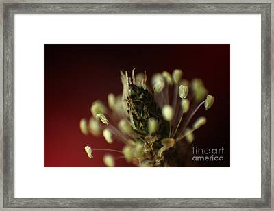 Ribwort Plantain  Framed Print by Eden Baed