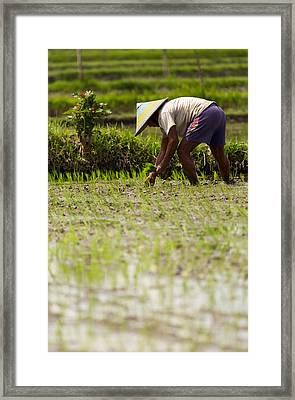 Rice Farmer - Bali Framed Print by Matthew Onheiber