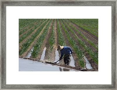 Rice Field In California Framed Print