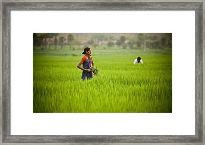 Rice Harvest Framed Print