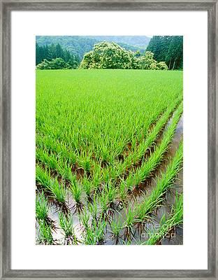 Rice Paddy Framed Print