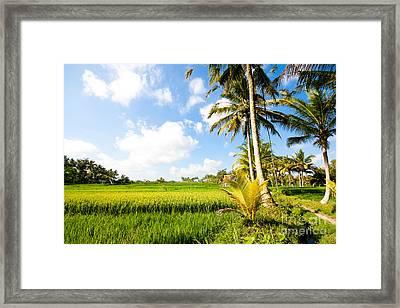 Rice Paddy Fields In Ubud Bali Indonesia Framed Print