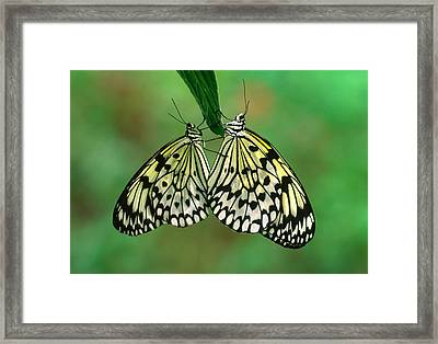 Rice Paper Butterflies Mating Framed Print by Nigel Downer