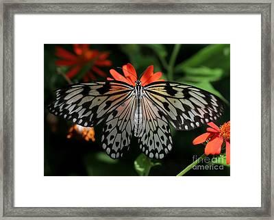Rice Paper Butterfly Elegance Framed Print by Sabrina L Ryan