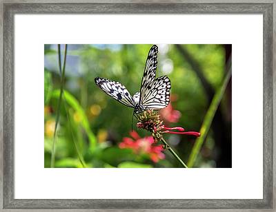 Rice Paper Butterfly (idea Leuconoe Framed Print by Chuck Haney