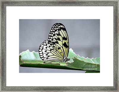 Rice Paper Butterfly On A Leaf Framed Print by Inspired Nature Photography Fine Art Photography