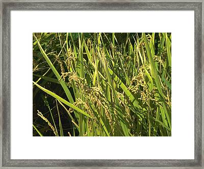 Framed Print featuring the photograph Rice by Rachel Mirror