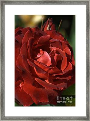 Framed Print featuring the photograph Rich Is Rose by Joy Watson