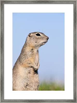 Richardsons Ground Squirrel Framed Print