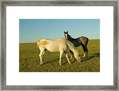 Riding Horses On Ranch Near Gonzales Framed Print by Larry Ditto