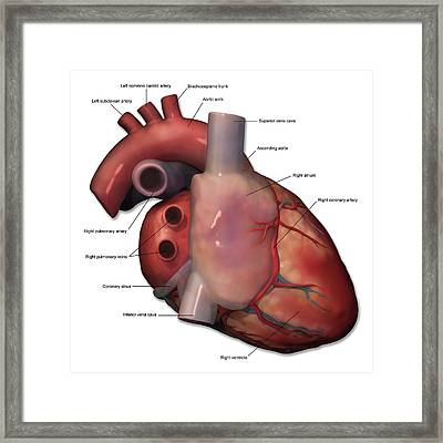 Right Lateral View Of Human Heart Framed Print