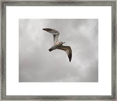 Ring Billed Gull At Reelfoot Framed Print by Jai Johnson