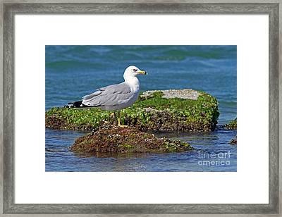 Ring-billed Gull Framed Print by Jennifer Zelik