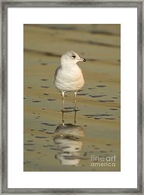 Ring-billed Gull Framed Print by John Shaw