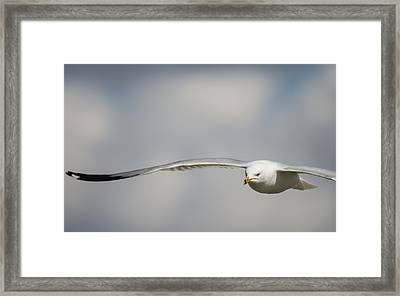 Ring Billed Gull On A Mission Framed Print by Loree Johnson