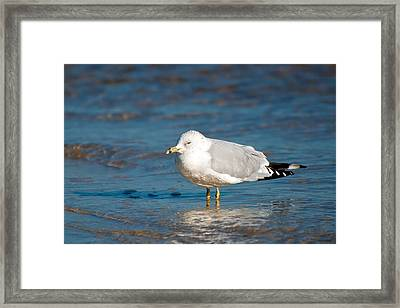 Ring-billed Gull Framed Print by Rich Leighton