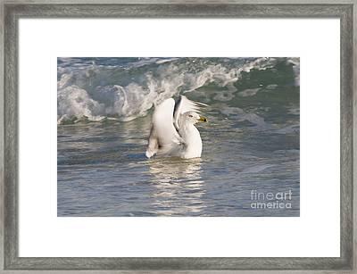 Ring-billed Gull Framed Print by William H. Mullins