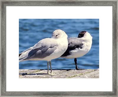 Ring-billed Gulls Framed Print by Zina Stromberg