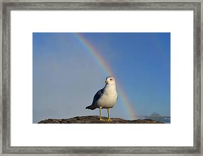 Ring Billed Seagull At Niagara Falls Framed Print
