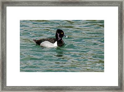 Ring-necked Duck Framed Print by Robert Bales