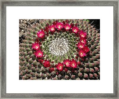 Ring Of Red Cactus Flowers Framed Print by Mark Barclay